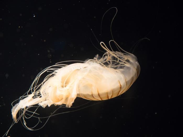 Aquarium-JellyFish12