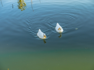 Oakland-Duck-Water1