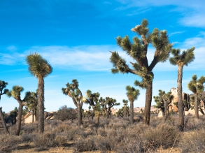 JoshuaTree-Trees-Sky