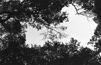 Ojai-Trees-Print