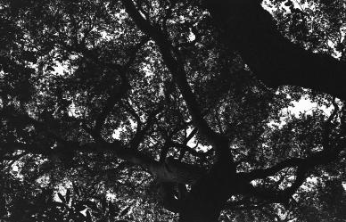 Ojai-Trees-Print2
